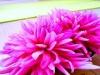 FRIEDENSRAUM ~ pink flowers